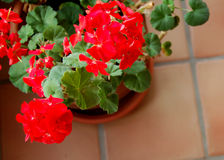 Winter Geraniums. Red potted geraniums blooming indoors during the winter royalty free stock photos