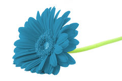 Winter gerbera on white royalty free stock images