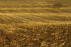 Winter gold. Undulating field with furrows of golden stubble in winter stock photos