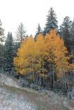 Winter-goldene Espenrahmen Evergreens stockbilder