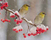 Winter Goldfinches Stock Image