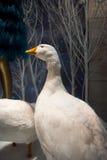 Winter goose Stock Photo