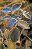 Winter-grüne Rosen-Blätter Lizenzfreies Stockfoto