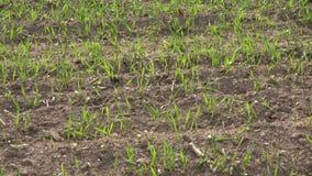 Winter grain crops field in village. 4K stock video