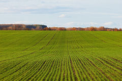 Winter grain crops green field background royalty free stock photo