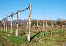 Winter Grape Vines Stock Images