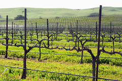 Winter grape vines getting ready for spring Stock Photo