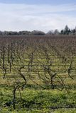 Winter grapevines NZ 05. Bare grape vines in Hawke's Bay, New Zealand Royalty Free Stock Photo