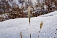 Spikelets of dry winter grass in the snow stock image