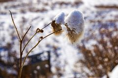 Spikelets of dry winter grass in the snow royalty free stock photos