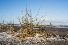 Yellow grass in sand with snow. royalty free stock image