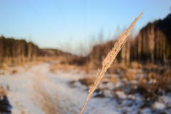 Winter grass in the snow-covered forest Royalty Free Stock Images