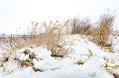 Winter Grass. Tall winter grass stands cold in a snowy field Royalty Free Stock Image
