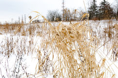 Winter Grass. Tall winter grass stands cold in a snowy field Stock Photography
