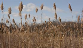 Winter Grasses Stock Photo