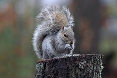Winter Gray Squirrel stock image