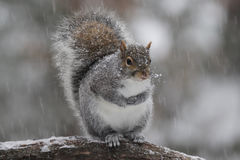 Winter Gray Squirrel im Schnee lizenzfreies stockfoto