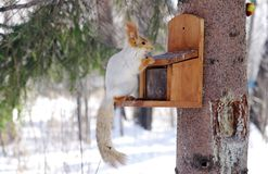 Winter gray  squirrel sits on rack Stock Photo