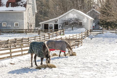 Winter Graze. Horses dine on hay in their winter corral in Ballston Spa, New York Stock Photography