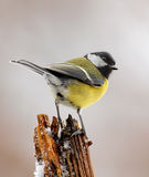 Winter great tit. With a gleam in his eye Royalty Free Stock Images