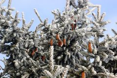 Winter green spruce cones high. Winter spruce cones in frost high on blue sky background stock photos