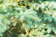 Winter with spruice tree Stock Image
