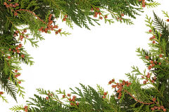 Winter Greenery Border. Of cedar cypress leaf with pine cones over white background Stock Photo