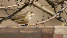 Winter Greenfinch Lizenzfreies Stockfoto