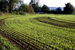 Winter grop. Above-grade winter crop in curved rows Royalty Free Stock Photo