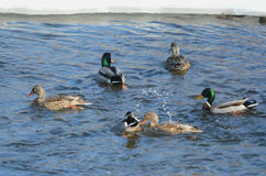 Winter Group Of Mallards On The Mississippi River Royalty Free Stock Image