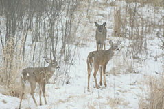 Winter Group Of Whitetail Deer Royalty Free Stock Image