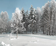 Winter grove with birches and fir trees in deep snow Royalty Free Stock Image