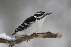 Winter Hairy Woodpecker Royalty Free Stock Photography