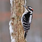 Winter Hairy Woodpecker (Picoides Villosus) Royalty Free Stock Photos