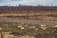 In winter, the harvest of pumpkins was gone, in the fall they did not harvest on time, they lost the harvest royalty free stock photos