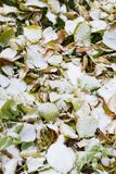Winter has arrived. Dehydrated fall leaves covered by first snow. Winter has arrived stock photos