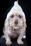 Winter hat on dog Royalty Free Stock Images