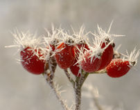 Winter Hawthorn berries Royalty Free Stock Photos