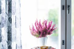 Erica gracilis- winter heather in full blossom. Winter heath or Erica gracilis in a white metallic pot at the window royalty free stock image