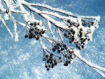 Winter hoar-frost on herb.  Royalty Free Stock Photography