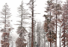 Winter Hoarfrost on Pine Trees. Winter hoarfrost decorates tree burned in a summer forest wildfire stock photo