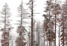 Winter Hoarfrost on Pine Trees Stock Photo