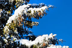 Winter holiday background with snowy pine tree branch, pine cones, blue sky, copy space Royalty Free Stock Photo