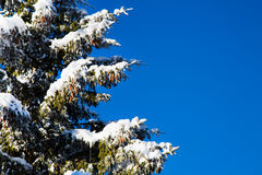Winter holiday background with snowy pine tree branch, pine cones, blue sky, copy space Stock Photography