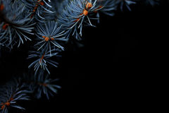 Winter holiday Christmas concept, silver spruche on black background. Branches of blue picea pungens 'Glauca Globosa' close up. Winter holiday Christmas concept Royalty Free Stock Images