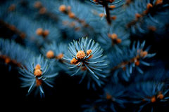 Winter holiday Christmas concept, silver spruche on black background. Branches of blue picea pungens 'Glauca Globosa' close up. Winter holiday Christmas concept Stock Images