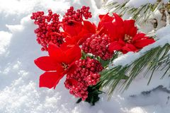 Winter holiday decoration concept: Blooming Holiday Red Poinsettia, Berry bush and frozen snow covered pine tree twigs. In forest preserve park stock photos