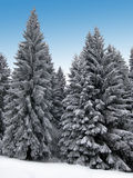 Winter Holiday Theme background. Magic Winter holiday theme with snowflakes and pine forest Royalty Free Stock Photos