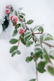 Winter holly berrie. White - frosted red holly berries on snow stock images