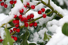 Winter Holly Berries. Snow on red berries, red berries with drops of melting snow Royalty Free Stock Image